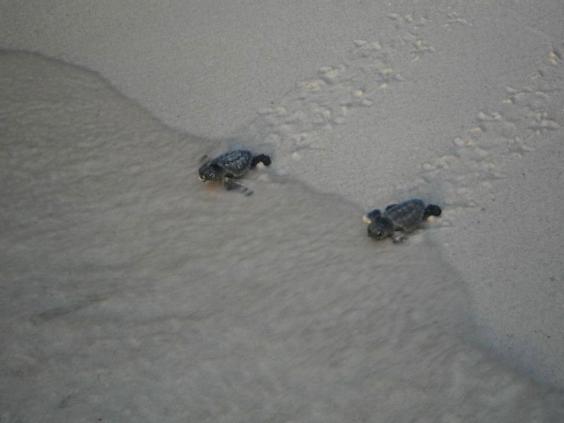 volunteers help guide loggerhead sea turtle hatchlings to sea (9)