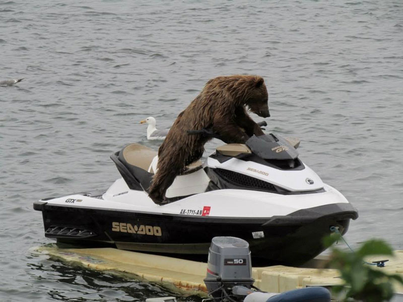 bear-on-a-sea-doo-jet-ski
