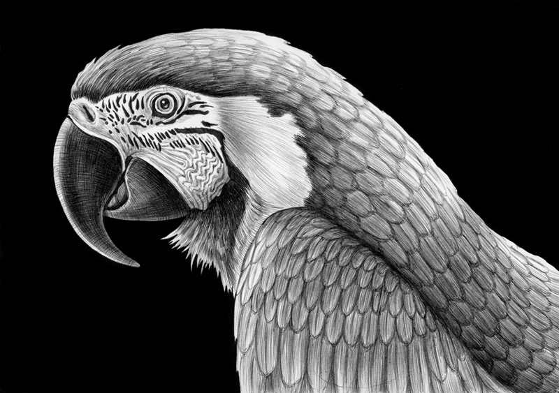 highly detailed pen and ink animal illustrations by tim jeffs (18)