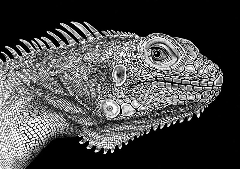 highly detailed pen and ink animal illustrations by tim jeffs (2)