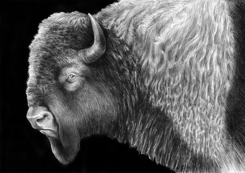 highly detailed pen and ink animal illustrations by tim jeffs (7)
