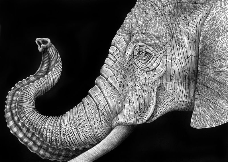 highly detailed pen and ink animal illustrations by tim jeffs (9)