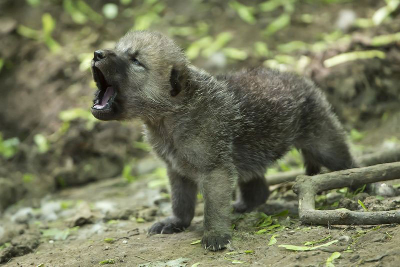 howling arctic wolf cub Picture of the Day: Howling Arctic Wolf Cub