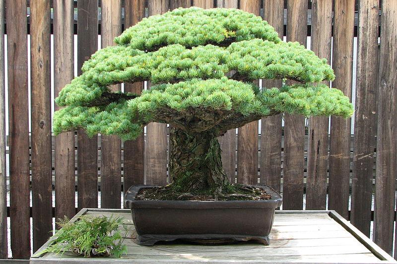 japanese white pine bonsai masaru yamaki us bicentennial (2)