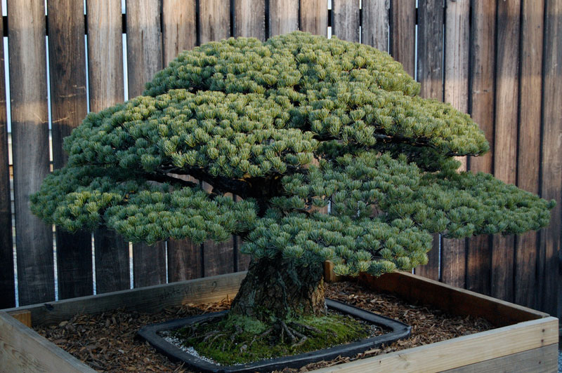 japanese white pine bonsai masaru yamaki us bicentennial (3)