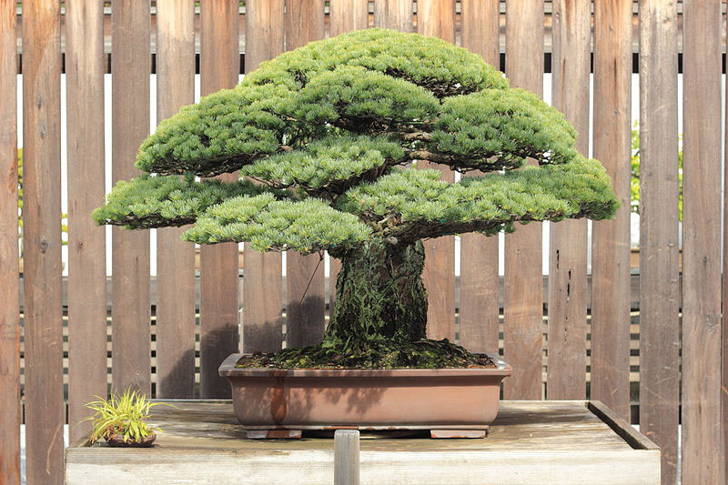 The 388-Year-Old Bonsai that Survived Hiroshima