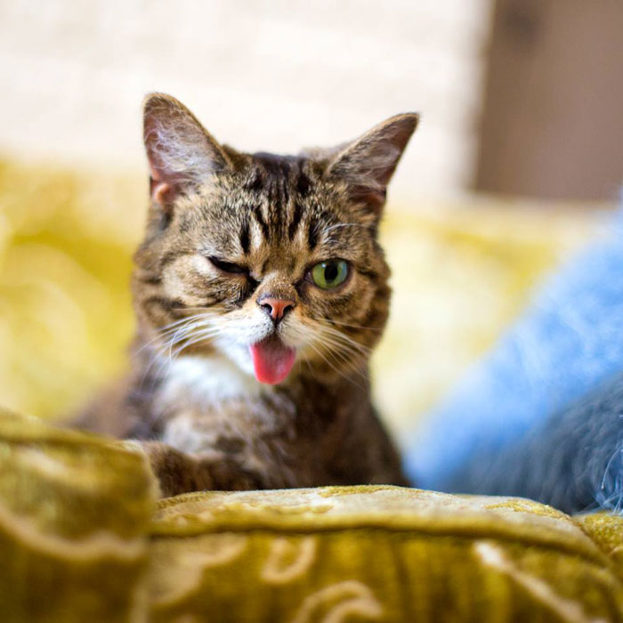 lil bub the cat sticks tongue out (8)