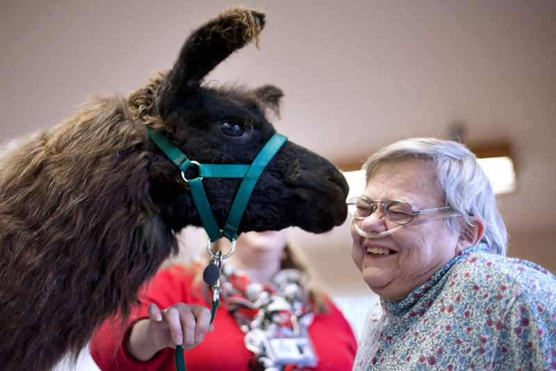 therapy llamas bring smiles to sick and elderly jen osborne colors magazine (3)