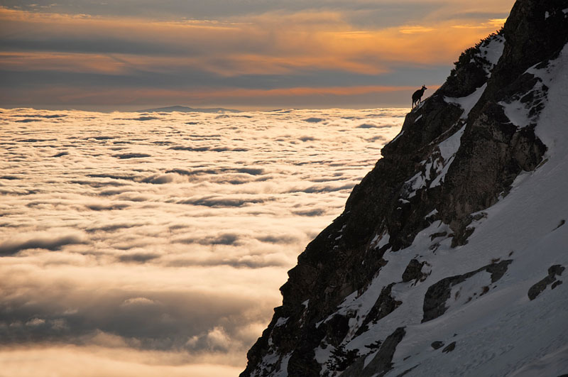 chamois above clouds high tatras slovakia Picture of the Day: Lone Chamois Above the Clouds