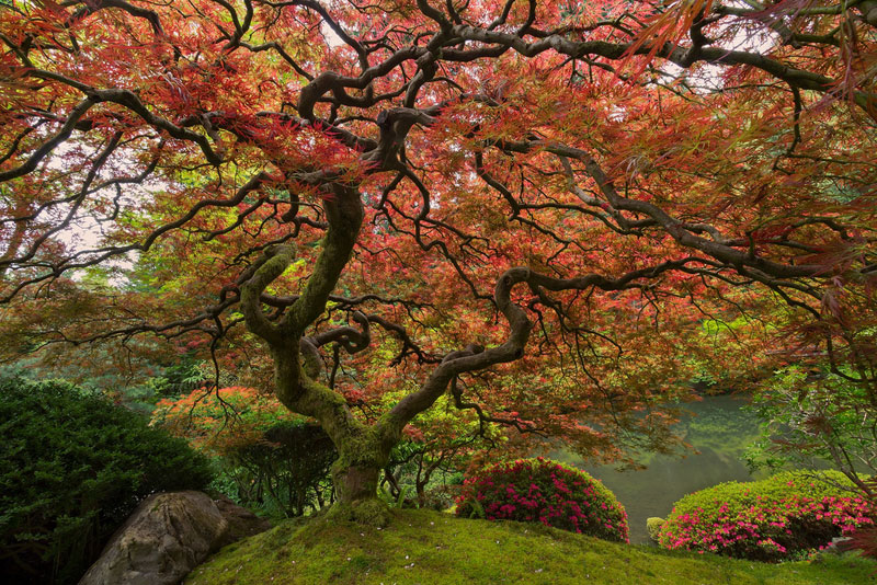 Picture Of The Day Portland S Famous Japanese Maple