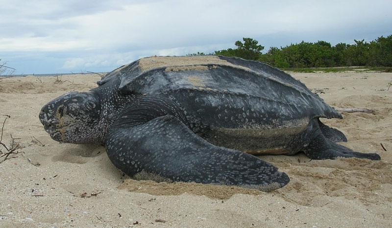 leatherback-sea-turtle-portrait