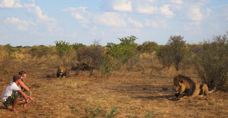 lion whisperers modisa botswana by nicolai frederk bonnen rossen (19)