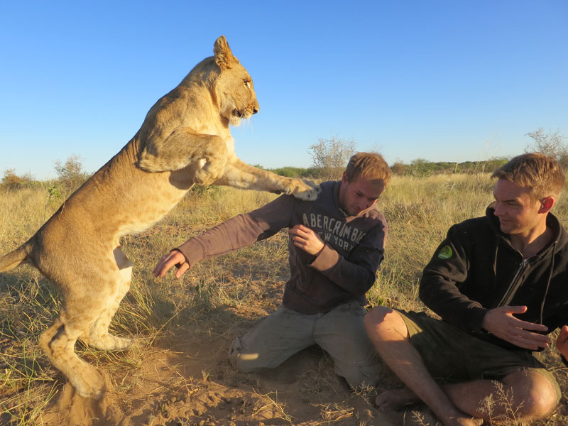 lion whisperers modisa botswana by nicolai frederk bonnen rossen (6)
