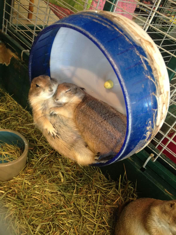 two prairie dogs cuddling on wheel The Shirk Report   Volume 230