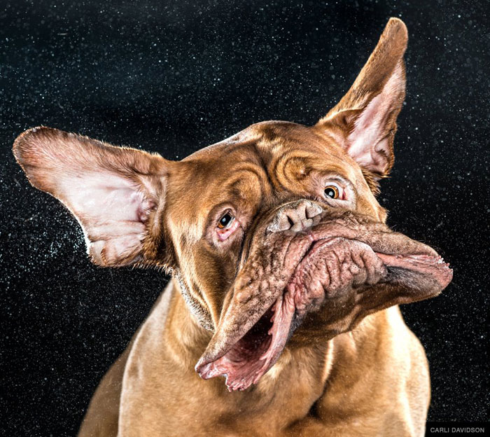 Portraits of Dogs, Mid-Shake