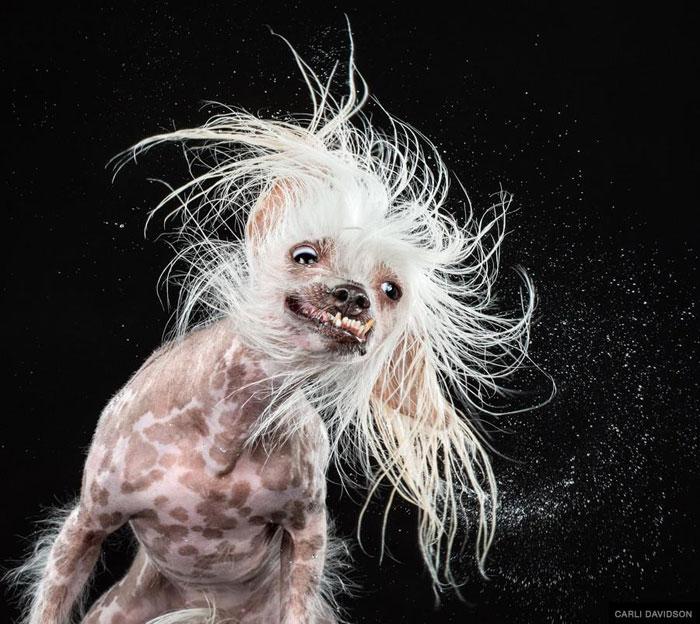 dogs mid shake by carli davidson (5)