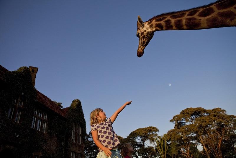 giraffe manor hotel nairobi kenya africa safari (10)