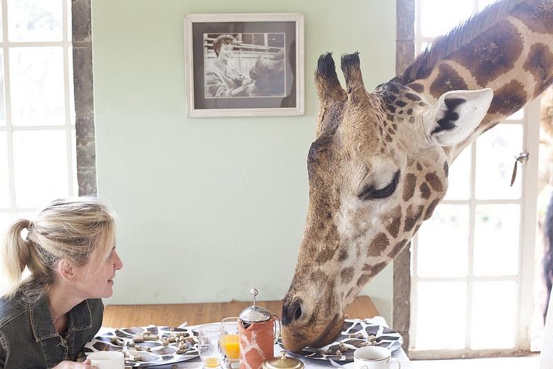 giraffe manor hotel nairobi kenya africa safari (14)