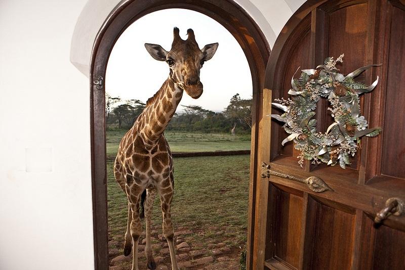giraffe manor hotel nairobi kenya africa safari (15)