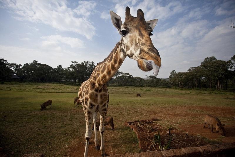 giraffe manor hotel nairobi kenya africa safari (16)