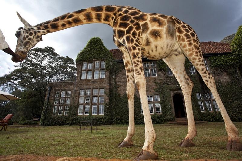 giraffe manor hotel nairobi kenya africa safari (5)