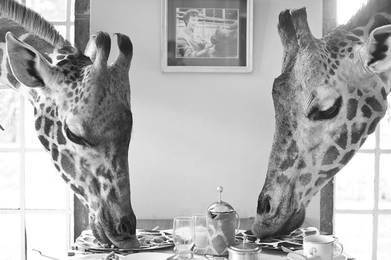 giraffe manor hotel nairobi kenya africa safari (6)