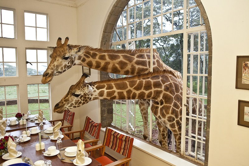 Eating Breakfast with Giraffes in Kenya