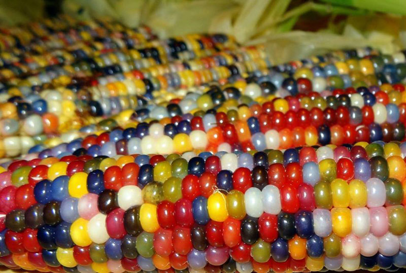 This is Glass Gem Corn. It's Real and Looks Amazing
