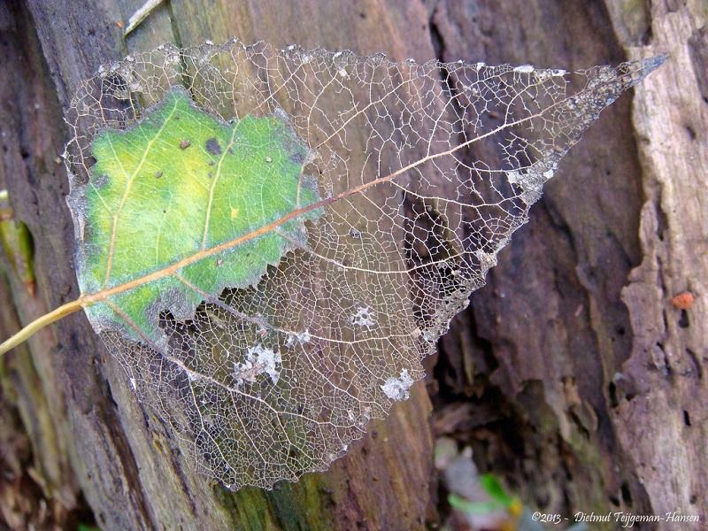 skeleton leaf