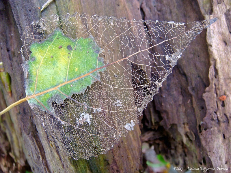 Picture of the Day: The SkeletonLeaf