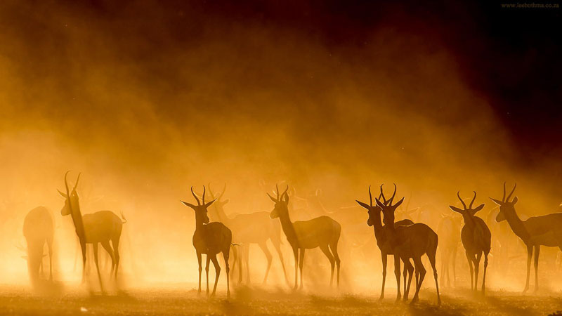 springbok silhouette mist kgalagadi park south africa sunset Picture of the Day: Antelopes in the Mist