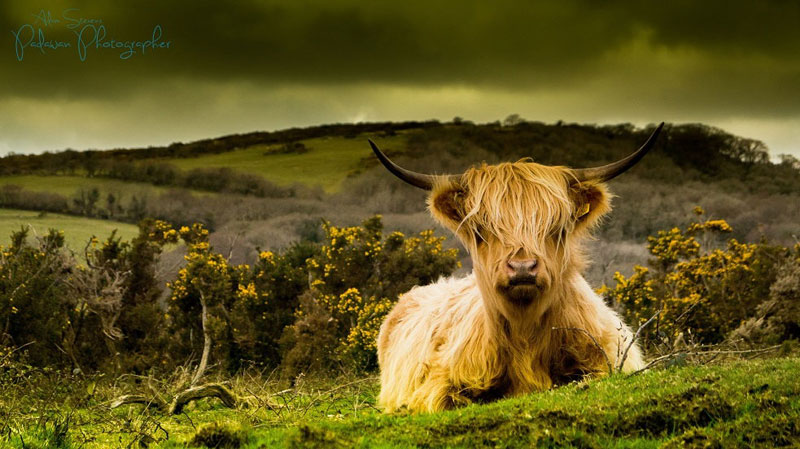emo cow with funny ahir Picture of the Day: This Cow is so Emo