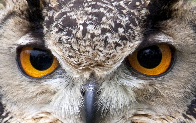 Close up of owl eyes