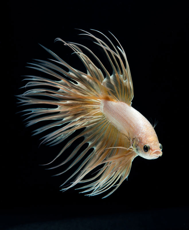 siamese fighitng fish bettas portraits by Visarute Angkatavanich (3)