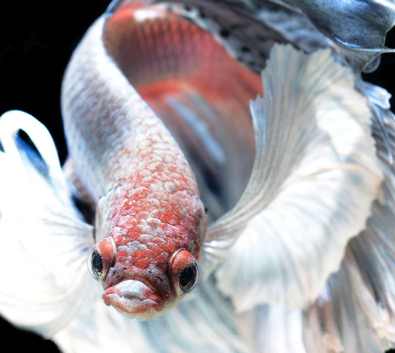 siamese fighitng fish bettas portraits by Visarute Angkatavanich (5)