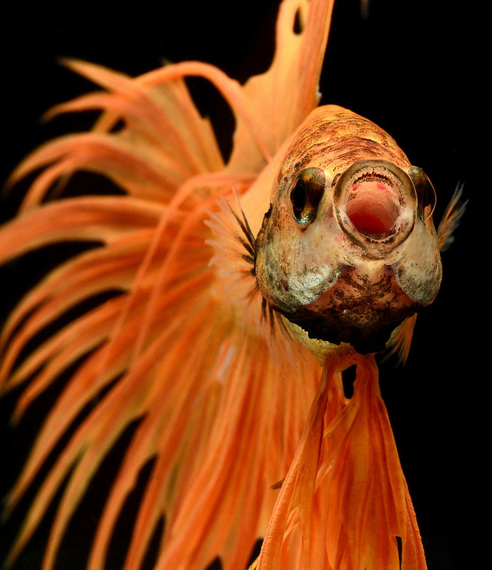 siamese fighitng fish bettas portraits by Visarute Angkatavanich (6)