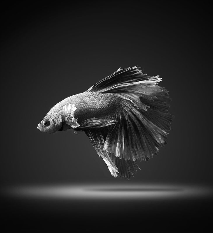 siamese fighitng fish bettas portraits by Visarute Angkatavanich (7)