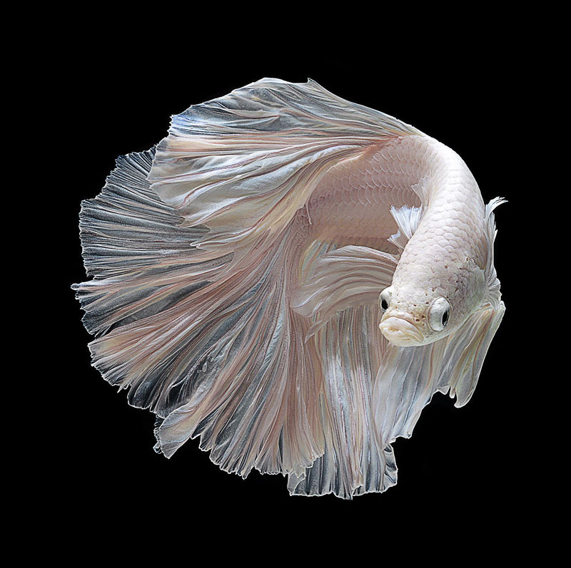 The Flowing Fins of Siamese Fighting Fish