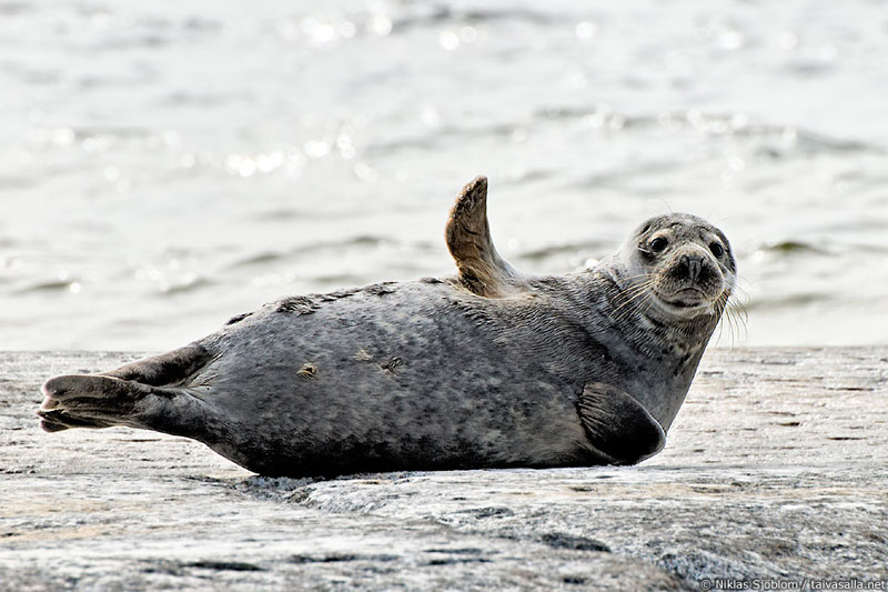 grey-seal-waving-goodbye-hello