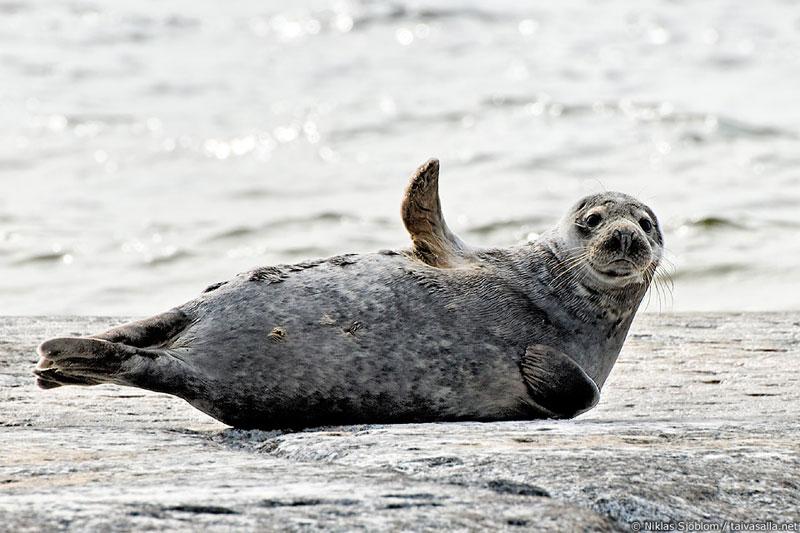grey-seal-waving-goodbye-hello