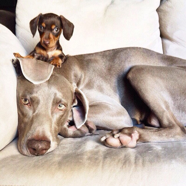 harlow sage and indiana big dog small dog cute instagram (12)