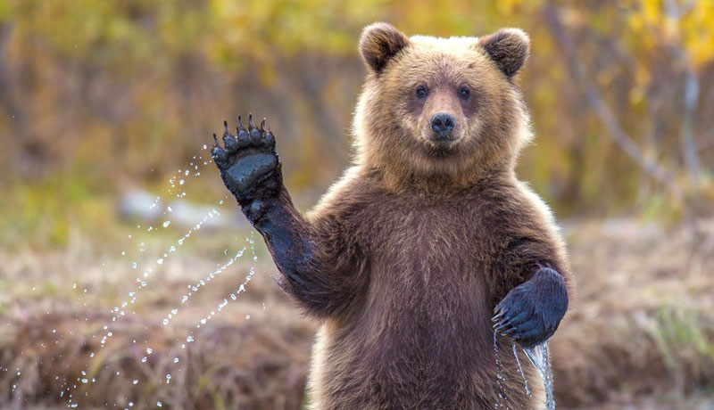 bear waving The Shirk Report   Volume 249