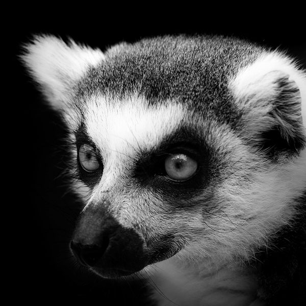 Black and white fine art animal portraits by lukas holas 1 photograph