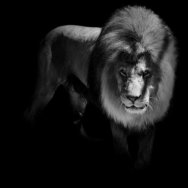 Black and White Animal...