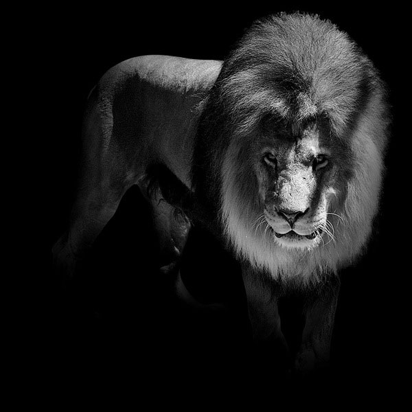 Black and white animal portraits in breathtaking detail twistedsifter black and white fine art animal portraits by lukas holas 10 altavistaventures Choice Image