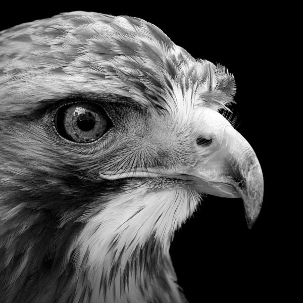Black and white fine art animal portraits by