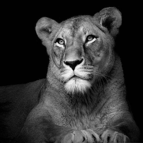 Black and white fine art animal portraits by lukas holas 8