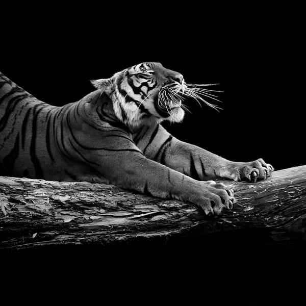 Black and white fine art animal portraits by lukas holas 9 photograph