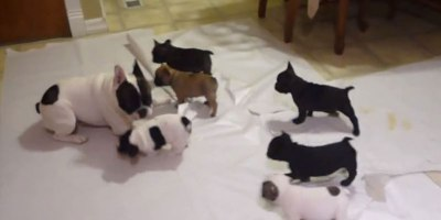 This French Bulldog is Teaching His Pups How to Play. It's Pretty Adorable