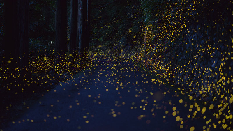 Long Exposure Photos Of Fireflies Lighting Up The Forest